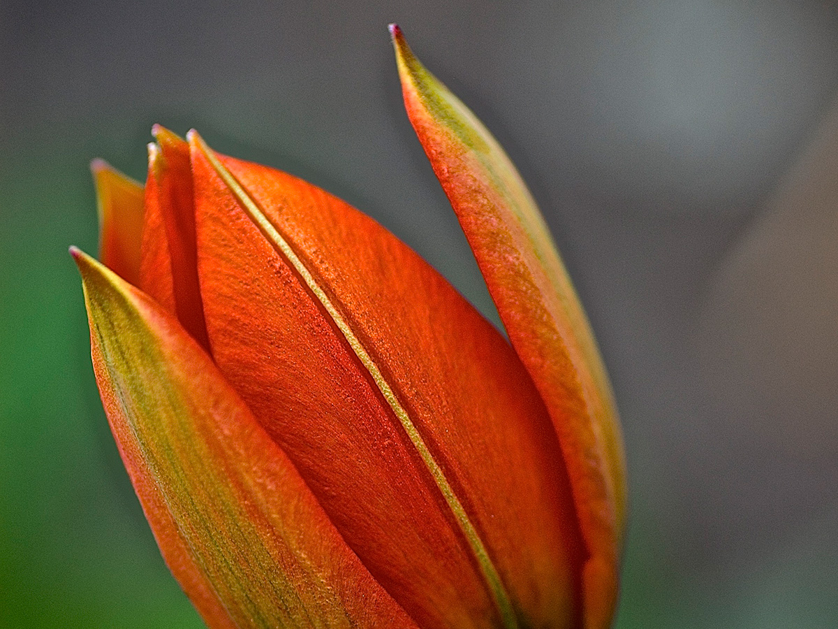yellow-orange_tulip